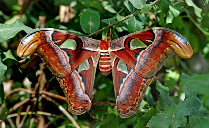1. Atlas Moth   Most Beautiful Moths in The World