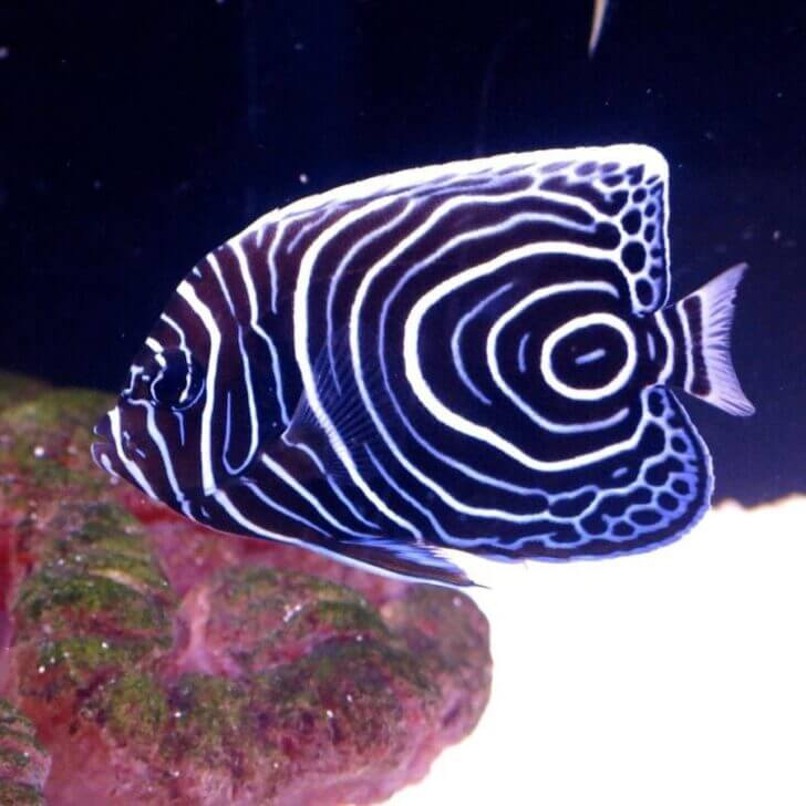 1. Juvenile Emperor Angel Fish   Most Beautiful Fishes in World