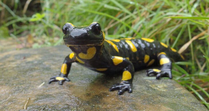1. Salamanders | Animals that Dont Need a Brain to Survive