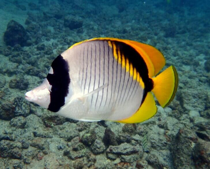 10. Lined Butterflyfish