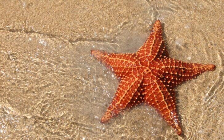 2. Sea Star | Animals that Dont Need a Brain to Survive