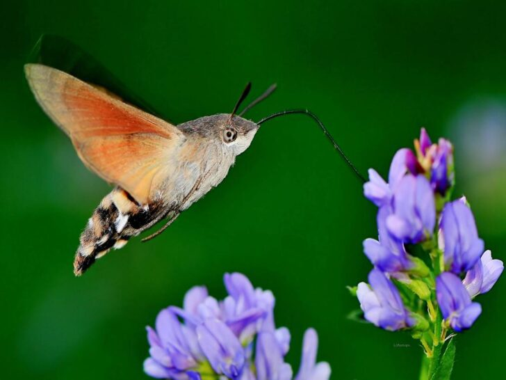 3. Hummingbird Hawk Moth   Most Beautiful Moths in The World