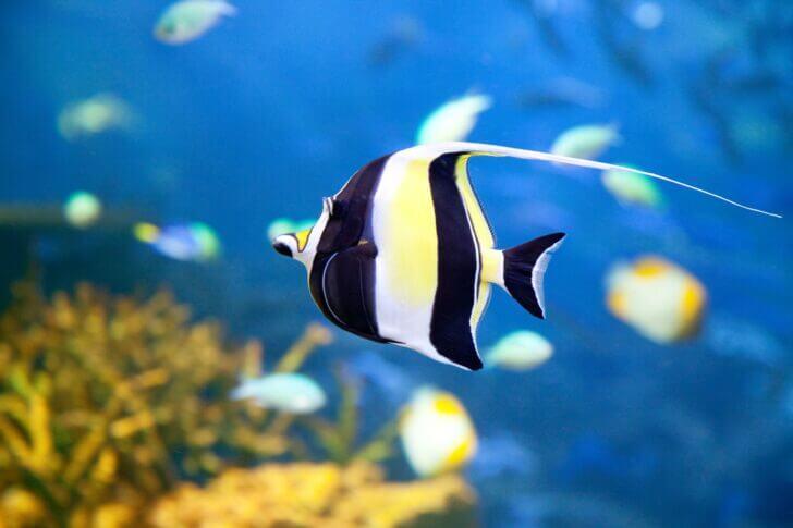 3. Moorish Idol   Most Beautiful Fishes in World