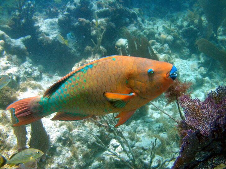 4. Rainbow Parrot Fish