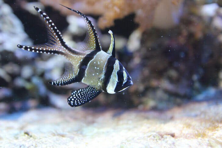 5. Banggai Cardinalfish