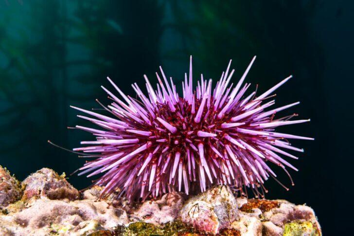 5. Sea Urchin
