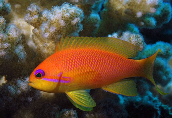 7. Lyretail Anthias   Most Beautiful Fishes in World