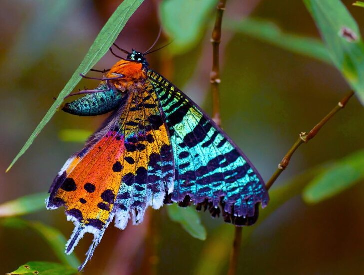 8. Madagascan Sunset Moth