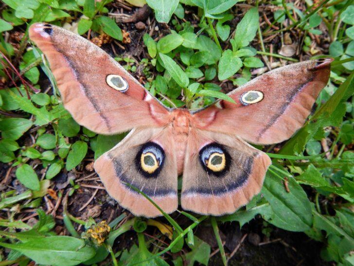 9. Polyphemus Moth
