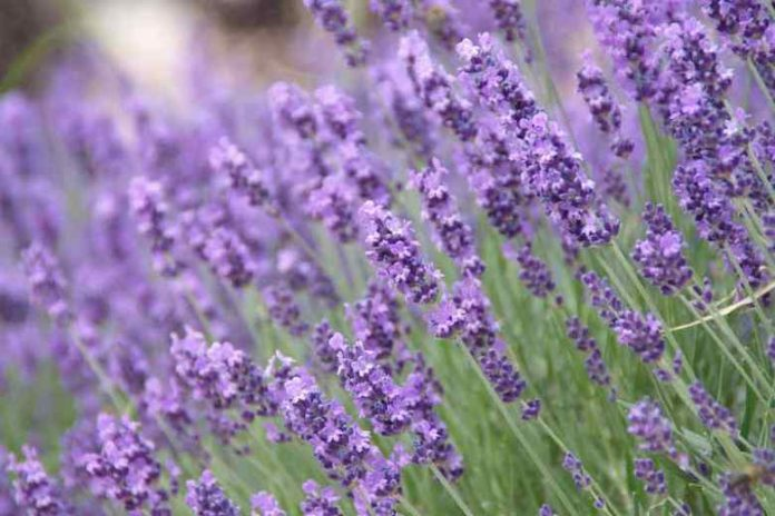 Best Lavender Women Perfumes in 2021