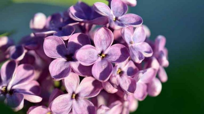 Best Perfumes For Women with Lilac Scent