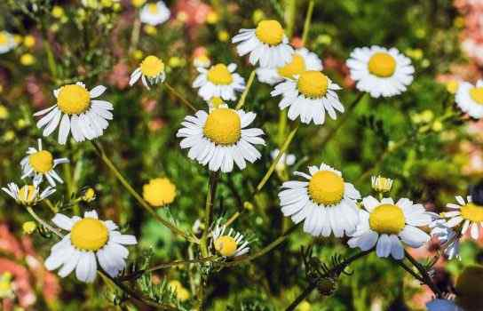 Best Chamomile Perfumes for Women