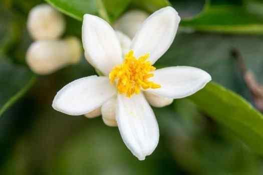 Best Orange Blossom Women Perfumes