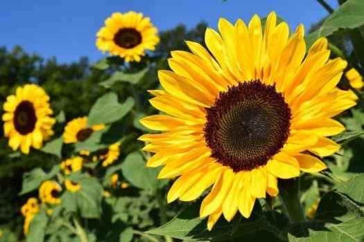 Best Sunflower Perfumes For Women